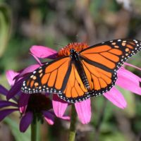 Butterfly Pit-Stop in Bloom at Hamlet Power Plant