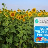 Piedmont Electric Sunflowers Will Support Pollinators